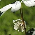 May Apple Flower by Kenny Glotfelty