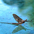Mayfly Reflected by Thomas Young