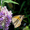 Meadow Brown Butterfly  by Tony Murtagh