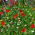 Meadow Flowers - Digital Oil by Mary Machare