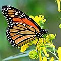 Meadow Monarch by Geoff Crego
