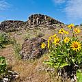 Meadow Of Arrowleaf Balsamroot by Jeff Goulden