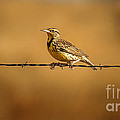 Meadowlark And Barbed Wire by Robert Frederick