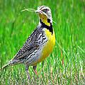 Meadowlark by John Cole