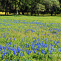 Meadows Of Blue And Yellow. Texas Wildflowers by Connie Fox