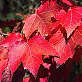 Red Maple Leaves by Ray Summers Photography
