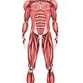 Medical Illustration Of Male Muscular by Stocktrek Images