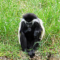 Meditating Monkey by Aimee L Maher ALM GALLERY