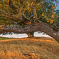Medusa Oak by Marc Crumpler