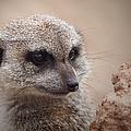 Meerkat 7 by Ernie Echols