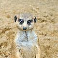 Meerkat by Aimee L Maher ALM GALLERY