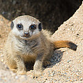 Meerkat Baby by Dave Montreuil