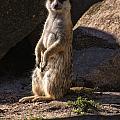 Meerkat by Chris Flees