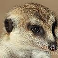 Meerkat by David Van der Merwe