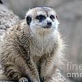 Meerkat Is Waiting by Yuri Levchenko