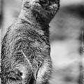 Meerkat by Jill Battaglia
