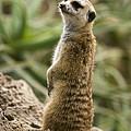 Meerkat Mongoose Portrait by David Millenheft