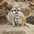 Meerkat Mother And Baby by San Diego Zoo