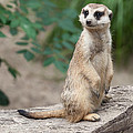 Meerkat by Shirley Radabaugh