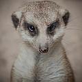 Meerkat Stare-down by Shirley Radabaugh
