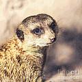 Meerkat Suricata Suricatta by Liz Leyden