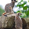 Meerkats by Louise Morgan