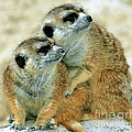 Meerkats by Millard H. Sharp