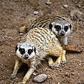 Meerkats by Patrick Meek