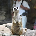Meerket - National Zoo - 01132 by DC Photographer