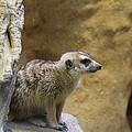 Meerket - National Zoo - 01135 by DC Photographer