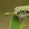 Meeting In The Middle - Monarch Caterpillars by Jane Eleanor Nicholas