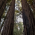 Meeting Of The Sequoias by David Kehrli