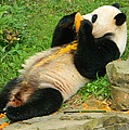 Mei Xiang Chowing On Frozen Treat by Emmy Vickers