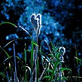 Melba Cattails by Image Takers Photography LLC