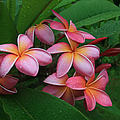 Melia Hae Hawaii Pink Tropical Plumeria Keanae by Sharon Mau
