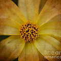 Mellow Yellow  2 by Judy Wolinsky