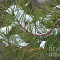Melting Snow In The Pines by Maria Urso