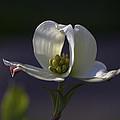 Memory - a dogwood blossom