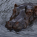 Menacing Hippo by Graham Palmer