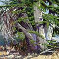 Mendocino Cypress II by Patricia Rose Ford