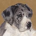 Merle Great Dane Puppy by Loreen Pantaleone
