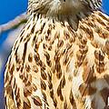 Merlin Falcon by Brian Williamson