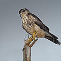 Merlin Falcon by Susan Capuano