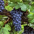 Merlot Clusters by Craig Lovell