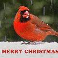 Merry Christmas Cardinal by Sandi OReilly