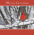 Merry Christmas Male Cardinal by Michael Peychich