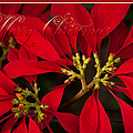 Merry Christmas - Poinsettia  - Euphorbia Pulcherrima by Sharon Mau