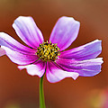 Merry Cosmos Floral by Kathy Clark