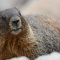 Merry Marmot by Colleen Coccia
