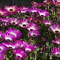 Mesembryanthemums 3 by Steve Purnell